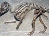 Good Mother Dinosaur Skeleton (Maiasaura Peeblesorum), Cretaceous Period, 75 M.Y.A., Montana, USA Stampa fotografica di Ken Lucas