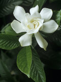 Gardenia or Cape Jasmine Flower (Gardenia Jasminoides) Photographic Print by David Sieren