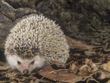African Hedgehog, Atelerix Albiventris, East Africa Photographic Print by Joe McDonald