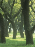 Live Oaks, Quercus Virginiana, Eastern North America Photographic Print by Adam Jones