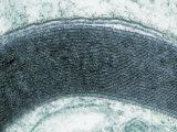 Myelin Sheath around the Axon of a Neuron. Tem Photographic Print by David Phillips