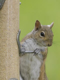 Gray Squirrel (Sciurus Carolinensis) at a Bird Feeder Photographic Print by Steve Maslowski
