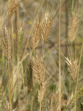 Ripe Wall Barley Photographic Print by Nigel Cattlin