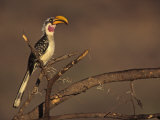 Yellow-Billed Hornbill, Tockus Flavirostris, Samburu, Kenya, Africa Photographie par Joe McDonald