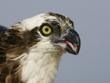Osprey Head, Pandion Haliaetus, North America Photographie par Arthur Morris