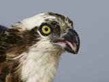 Osprey Head, Pandion Haliaetus, North America Photographie par Arthur Morris