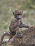 Bably Olive Baboon Riding on Mothers Back, Papio Anubis, Lake Nakuru National Park, Kenya Photographic Print by Adam Jones