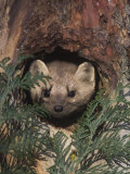 Marten (Martes Americana) Peering from a Hole in a Tree, North America Photographic Print by Tom Walker