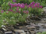 Parry Primrose, Primula Parryi, Rocky Mountains, North America Photographic Print by Adam Jones