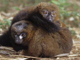 Collared Lemurs, Eulemur Fulvus, Madagascar, Africa Photographic Print by Joe McDonald