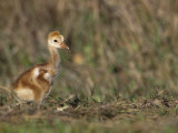 Young Sandhill Crane, , Grus Canadensis Photographic Print by Arthur Morris