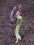 Snap Bean Seed Germinating Photographic Print by Jerome Wexler