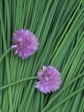 Chive Stems and Flowers (Allium Schoenoprasum) Photographic Print by Wally Eberhart
