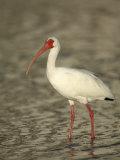 White Ibis, Eudocimus Albus, Southern USA Photographic Print by Arthur Morris