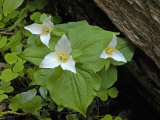 Pacific Trillium (Trillium Ovatum), Oregon, USA Photographic Print by Robert &amp; Jean Pollock