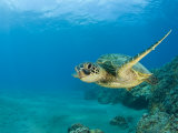 Green Sea Turtle Swimming (Chelonia Mydas), Marshall Islands, Pacific Ocean Fotografie-Druck von Reinhard Dirscherl