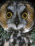 Long-Eared Owl Face, Asio Otus, North America Photographic Print by Joe McDonald