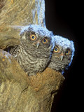 Eastern Screech Owl Young or Owlets in a Tree Hollow (Otus Asio), Eastern North America Fotoprint van Steve Maslowski