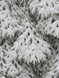 European Silver Fir, Abies Alba, Covered in Snow, Bavarian Forest National Park, Germany, Europe Lámina fotográfica por Fritz Polking