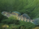 Eastern Greenside Darter, Etheostoma Blennioides, Eastern USA Photographic Print by Gary Meszaros