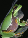 Male Pine Barrens Treefrog, Hyla Andersoni, Calling or Singing Photographic Print by Jim Merli
