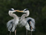 Great Blue Heron Pair Courtship Behavior, Ardea Herodias, North America Photographic Print by John Cornell