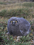 Snowy Owl Chick (Nyctea Scandiaca), Arctic National Wildlife Refuge, Alaska, USA Photographic Print by Tom Walker