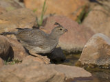 Gambel's Quail (Callipepla Gambelii) Female Photographic Print by Jack Michanowski