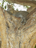 African Leopard in a Tree, Panthera Pardus, Masai Mara Game Reserve, Kenya, Africa Photographic Print by Joe McDonald