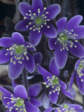 Round-Lobed Hepatica Flowers, Hepatica Americana, Eastern North America Photographic Print by Clint Farlinger