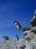 A Rockhopper Penguin Hopping Rocks, Eudyptes Chrysocome, Falkland Islands Photographic Print by Joe McDonald