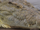 Close-Up of a Nile Crocodile Head, Crocodylus Niloticus, Kenya Photographic Print by Joe McDonald