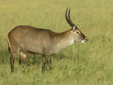 Defassa Waterbuck on the Savanna, Kobus Ellipsiprymnus Defassa, Tanzania, Africa Photographic Print by Arthur Morris