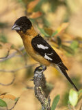 Male Black-Headed Grosbeak (Pheucticus Melanocephalus), Western North America Photographic Print by Steve Maslowski