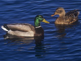 Male and Female Mallard Ducks, Anas Platyrhnchos, North America Photographie par Hal Beral