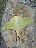 Luna Moth, Actias Luna, . Northeastern USA Fotografie-Druck von Gustav W. Verderber