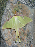 Luna Moth, Actias Luna, . Northeastern USA Photographic Print by Gustav W. Verderber