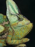Veiled Chameleon, Chameleo Calaptractus, Yemen Fotografie-Druck von Joe McDonald