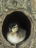 Baby Wood Duck, Aix Sponsa, Peering from its Nest Hole in a Tree, North America Photographic Print by Joe McDonald