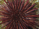 Red Sea Urchin (Strongylocentrotus Franciscanus), Pacific Coast of North America Fotografie-Druck von Ken Lucas