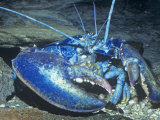 American Lobster Blue Color Phase. (Homarus Americanus) Atlantic Coast, USA Photographic Print by Ken Lucas