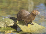 Mink on Shore Rocks (Mustela Vision), Mustelidae. USA Photographic Print by Steve Maslowski