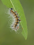 Saturnid Moth Third Instar Caterpillar Eating a Leaf (Neoris Huttoni) Photographic Print by Leroy Simon