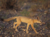 Kit Fox (Vulpes Macrotis), Southwestern USA Photographic Print by Rick & Nora Bowers