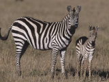 Common Zebra Mother and its Baby, Equus Burchellii, Masai Mara, Kenya, Africa Photographic Print by Joe McDonald