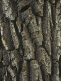Bark of the Black Cottonwood Tree (Populus Balsamifera), Western USA Photographic Print by Robert & Jean Pollock