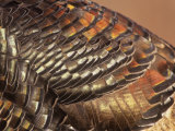 Close-Up of Wild Turkey Feathers, Mealagris Gallopavo, North America Photographic Print by Arthur Morris