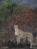 Cheetah on the Hunt, Actinonyx Jubatus, Masai Mara, Kenya, Africa Photographic Print by Joe McDonald