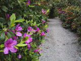 Blooming Rhododendrons Along a Pathway, Magnolia Plantation, Charleston, South Carolina, USA Photographic Print by Adam Jones
