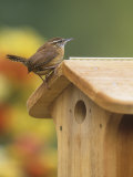 Carolina Wren at its Nest Box or Bird House (Thryothorus Ludovicianus), Eastern USA Photographic Print by Steve Maslowski